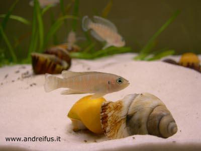 Neolamprologus Brevis - maschio adulto