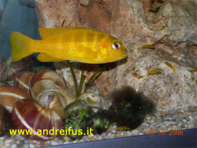 piccoli di pseudotropheus saulosi con la madre
