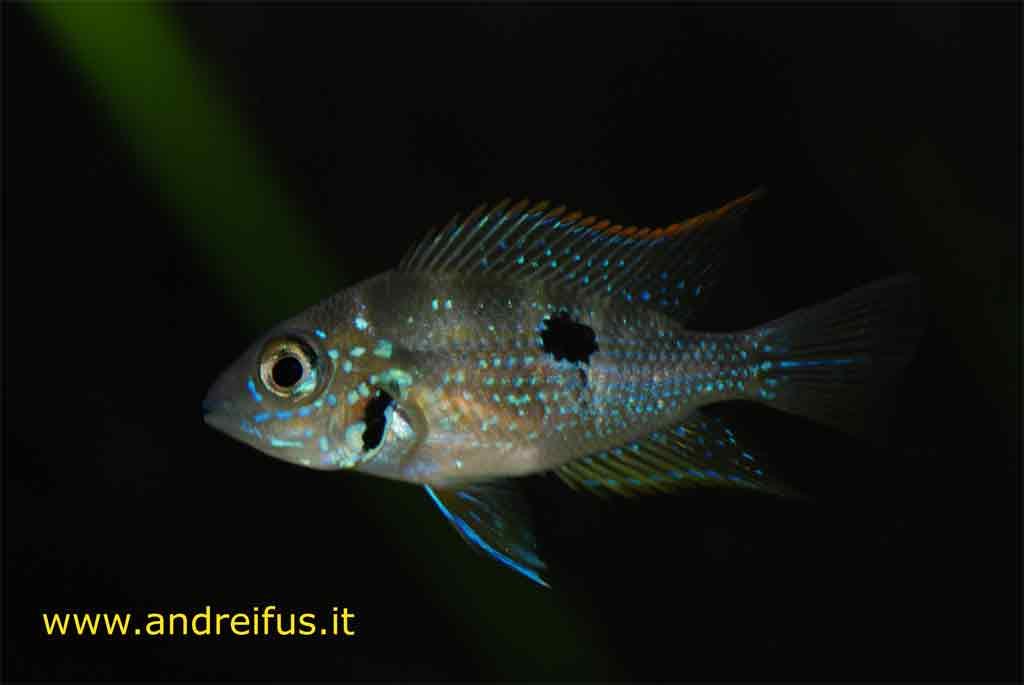 Thorichthys Maculipinnis esemplare giovanile