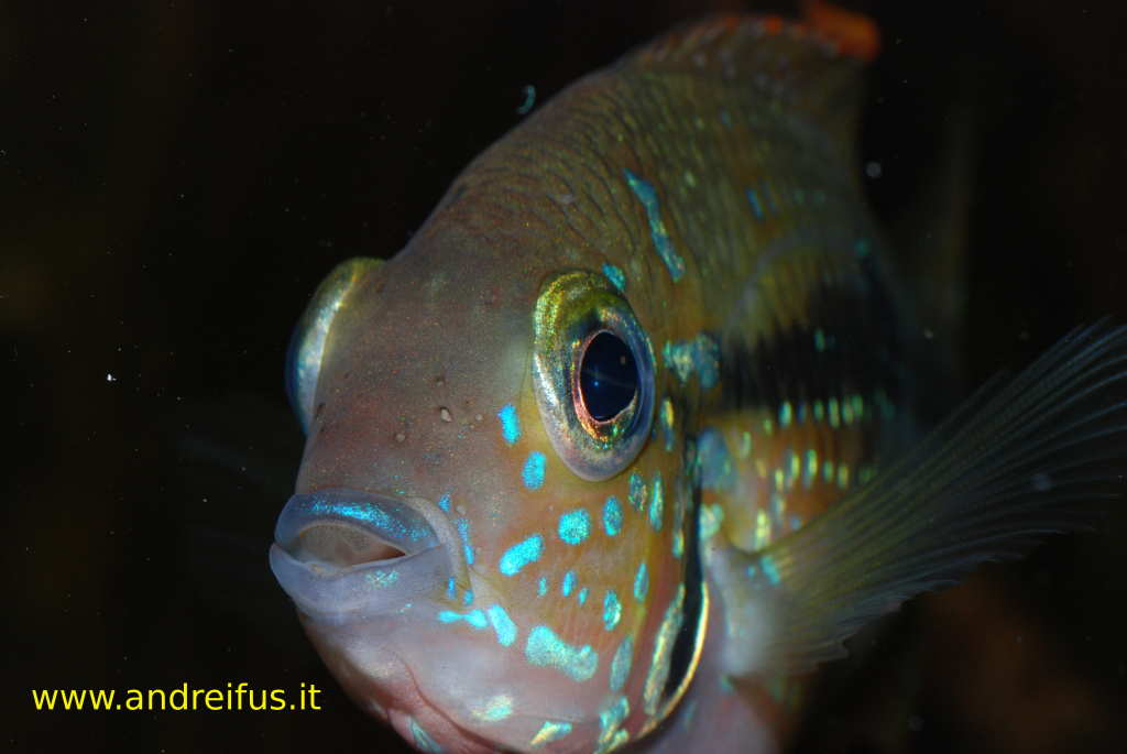 Thorichthys Maculipinnis Maschio